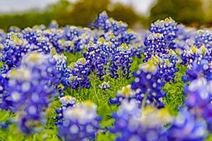"""""""Texas Bluebonnets"""" by Counse is licensed under CC BY 2.0"""